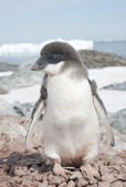 Moulting Adelie penguin chick. — Stock Photo