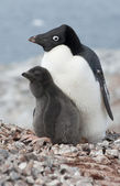 Family Adelie penguins. — Stock Photo