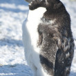 Stock Photo: Part of moulting Adelie penguin.
