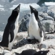 Stock Photo: Two Adelie penguin near nest.