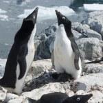 Two Adelie penguin near the nest. — Stock Photo