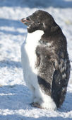 Part of moulting Adelie penguin. — Foto Stock