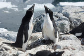 Two Adelie penguin near the nest. — Foto Stock
