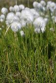 Cotton grass — Stock Photo