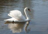 Mute swan and its reflection. — Stock Photo