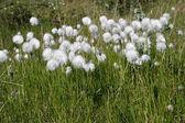 White cotton grassl. — Стоковое фото