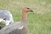 Female Greater Uplands Goose. — Stock Photo