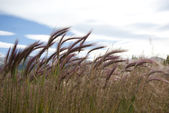 Prairie grass. — Stock Photo