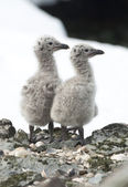Dominican gull chicks. — Foto Stock