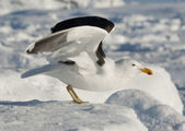 Dominican gull on takeoff. — Stock Photo