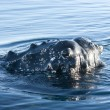Foto Stock: Humpback whale's head-3.