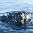 Stock fotografie: Humpback whale's head-3.