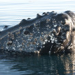 Humpback whale's head-4. — Foto de Stock