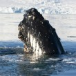 Humpback whale's head-5. — Foto de stock #9624550