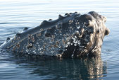 Humpback whale's head-4. — Foto Stock