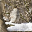 Sparrow hawk sitting on a tree-1. — Stock Photo