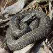 Steppe viper -1. — Stock Photo #9785453