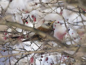 Fieldfare Blackbird sitting in a hawthorn bush. — Stock Photo