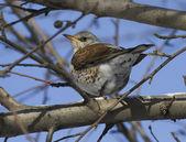Kramsvogel lijsters zittend op een boom tak-2. — Stockfoto