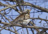Fieldfare Thrush sitting on a tree branch. — Stock Photo