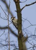 Lesser spotted woodpecker-1. — Stock Photo