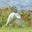 Cattle egret preening itself — Stock Photo