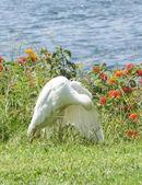 Cattle egret preening itself — Stock Photo