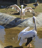 Large white pelicans in a zoo — Stock Photo