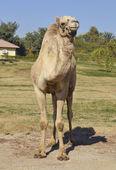 Верблюд верблюда в парке — Стоковое фото