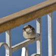 House sparrow sat on a fence — Stock Photo