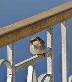 домовый воробей сидел на заборе — Стоковое фото