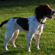 Working English Springer Spaniel — Stock Photo #7961864
