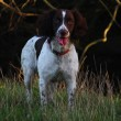 Working English Springer Spaniel standing in a field — Stock Photo #7962187
