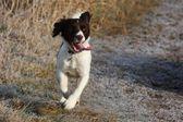 Working english springer spaniel dog running — Stock Photo
