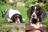 Working Type English Springer Spaniels — Foto de Stock