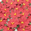 Stock Photo: Red Poinsettia. Christmas Flower background