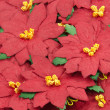 Red Poinsettia. Christmas Flower background — Stock Photo