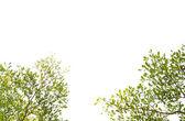 Foglia verde isolato su sfondo bianco — Foto Stock