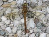 Dragonfly — Fotografia Stock