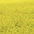 Yellow field rapeseed - Stock Photo