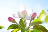 The delicate and fragile apple-tree blossom — Stock Photo