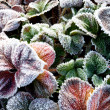 The strawberry leaves covered with the frost — Stock Photo