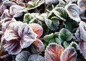 イチゴ葉は霜で覆われています。 — ストック写真
