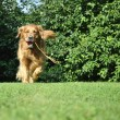 Golden retriever dog running in park with a toy. — Stock Photo #9272943