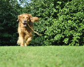 Golden retriever dog running in park with a toy. — Stock Photo