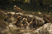 Birds taking a bath. — Stock Photo
