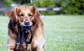 Golden retriever playing in park. — Stock Photo