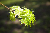 Young maple leaves in the sun. — Stock Photo