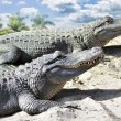 Alligators — Stock Photo #10019170
