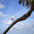 Stock Photo: White Ibis